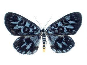 https://aleutian1507.net/specimen/noctuidae_jp/moth/malaysia/noctuidae_longicella_mollis